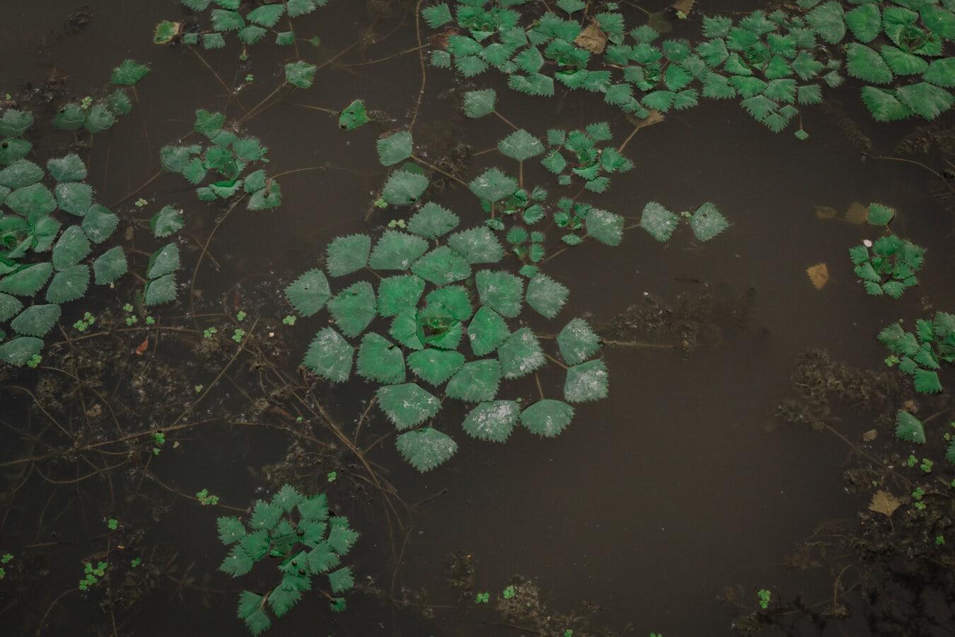 aquatische, Wasserpflanze, Ökosystem, Blatt, dunkelgrün, Textur, Oberfläche, nass, Farbe, Biologie