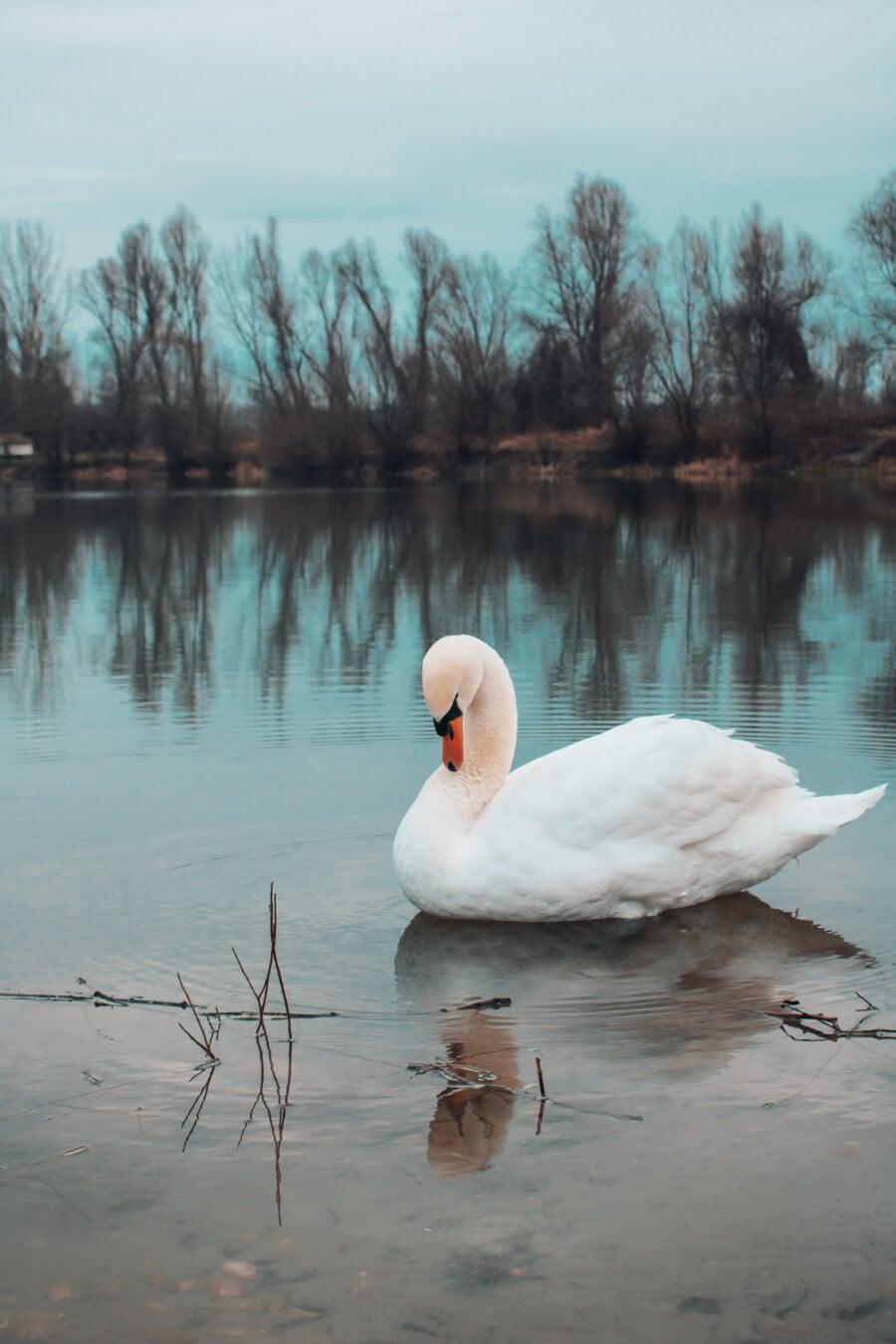 Vogel, Schwan, majestätisch, Hals, Anmut, weiß, Wasser, See, Natur, Reflexion