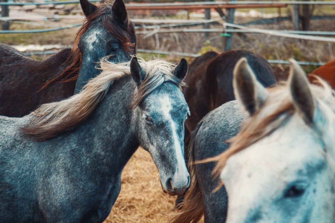 chevaux, cheval, ferme, nature, animal, cavalerie, Mare, équins, Stallion, rural