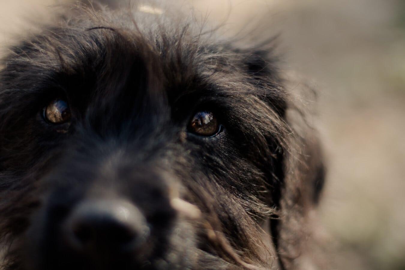 close-up, dog, eyes, black, fur, portrait, canine, eye, cute, animal