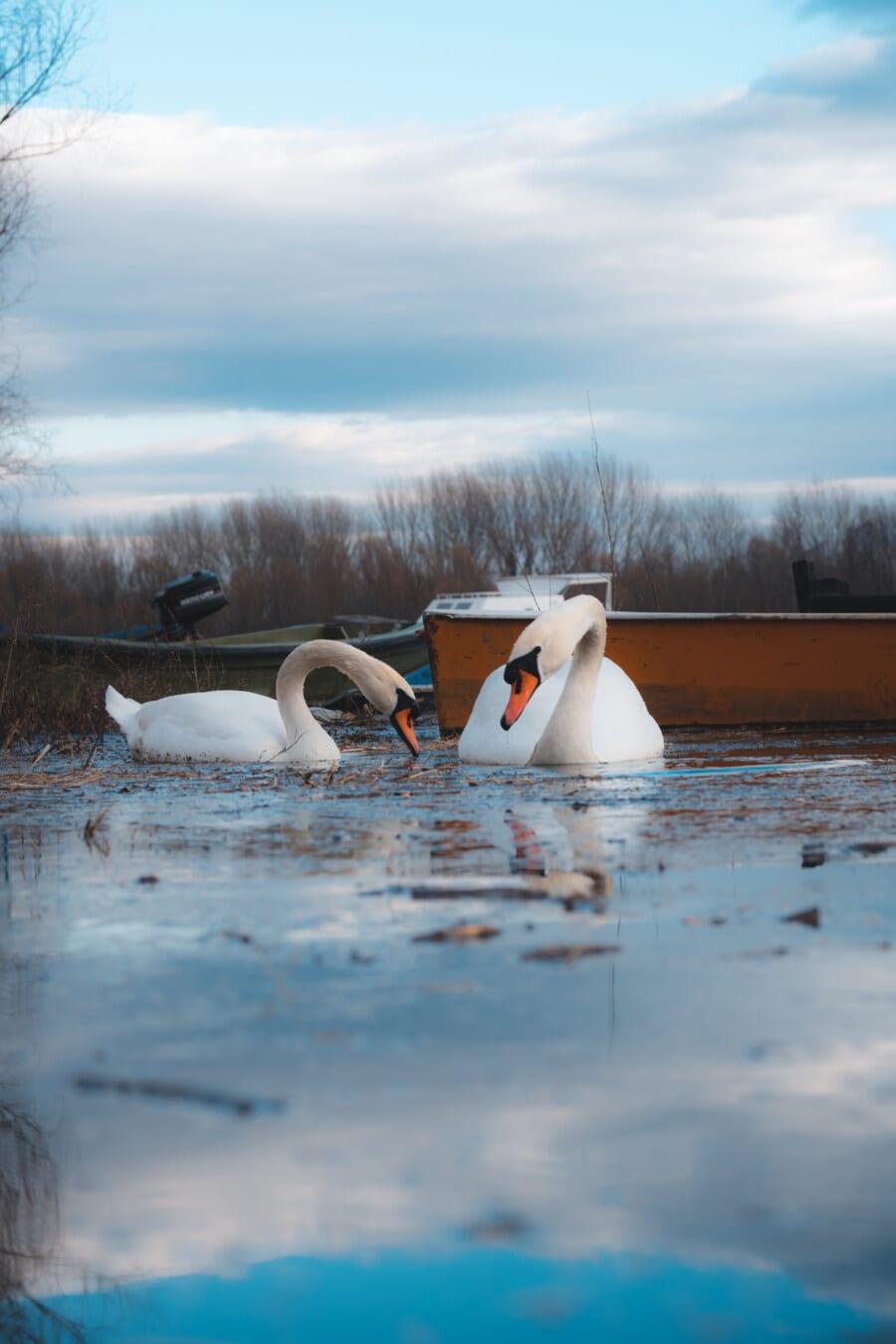aquatic bird, aquatic plant, swan, ecosystem, aquatic, river boat, boat, river, nature, water