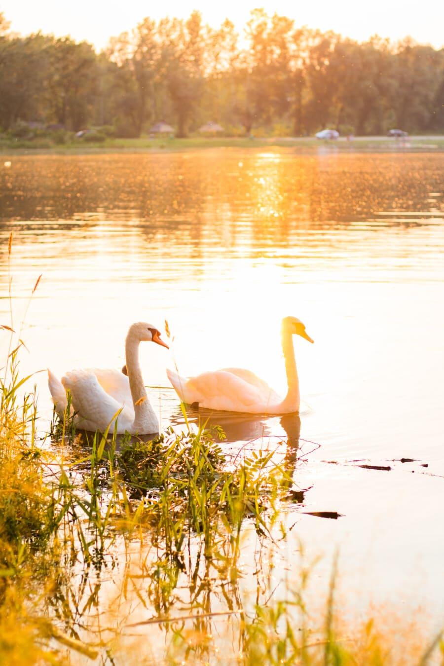oiseaux, cygne, lumière du soleil, rayons de soleil, au bord du lac, Lac, nature, eau, réflexion, coucher de soleil