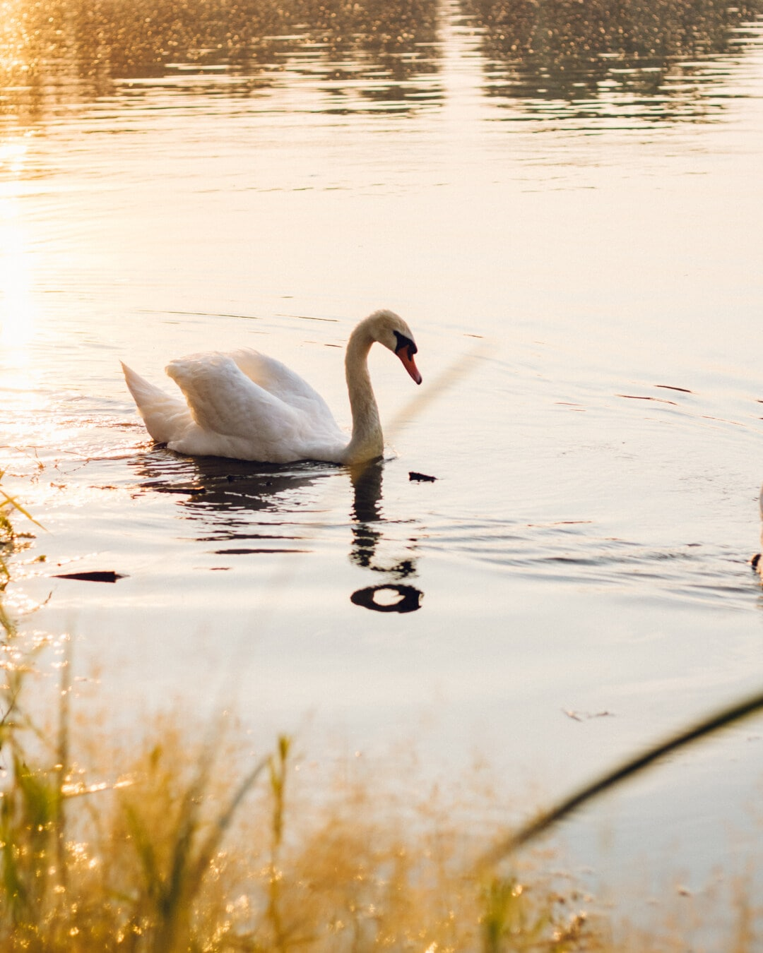 Schwimmen, Schwan, Tag, sonnig, Vogel, See, Wasser, Reflexion, Natur, Fluss