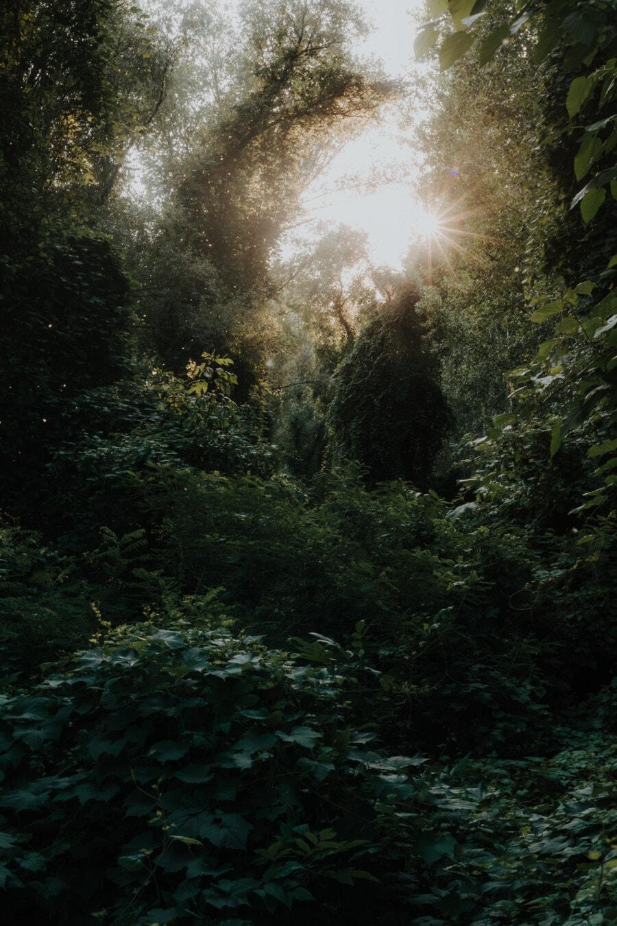 Magie, Wald, Sonnenstrahlen, Sonnenschein, Grün, Laub, Bäume, Blatt, Struktur, Holz