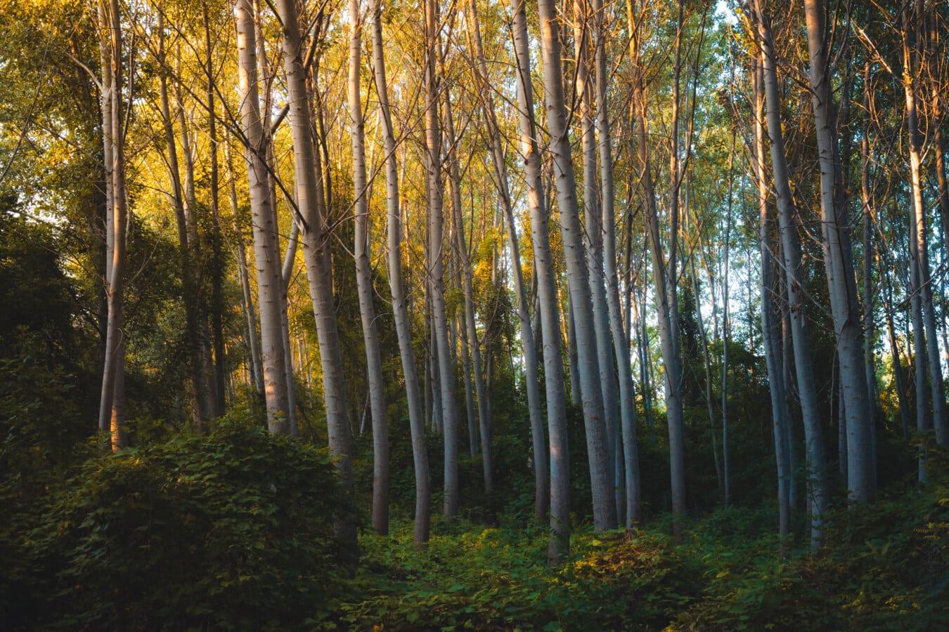 magie, forêt, majestueux, peuplier, arbres, verdure, écosystème, feuillage, bois, aube