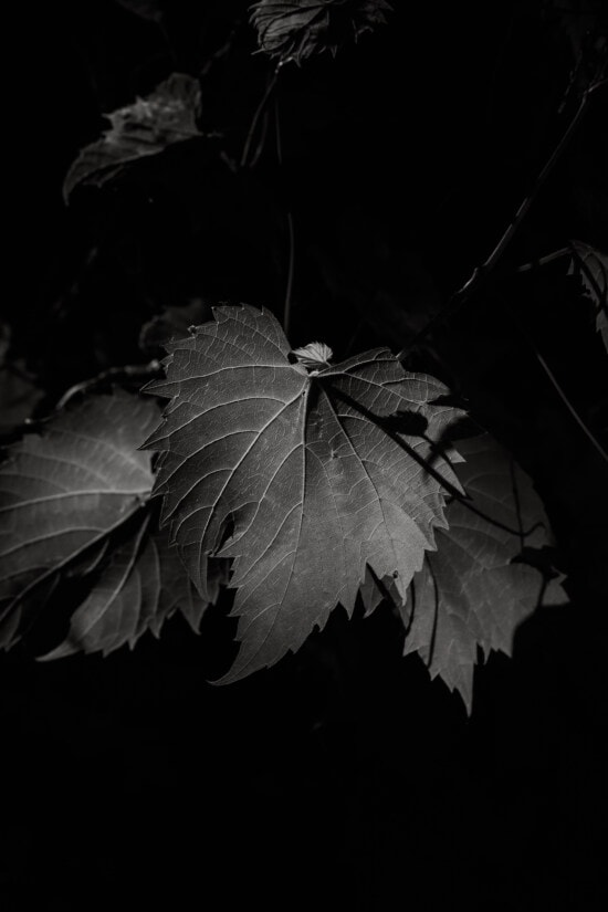 black and white, monochrome, leaf, shadow, darkness, branchlet, shade, art, texture, contrast