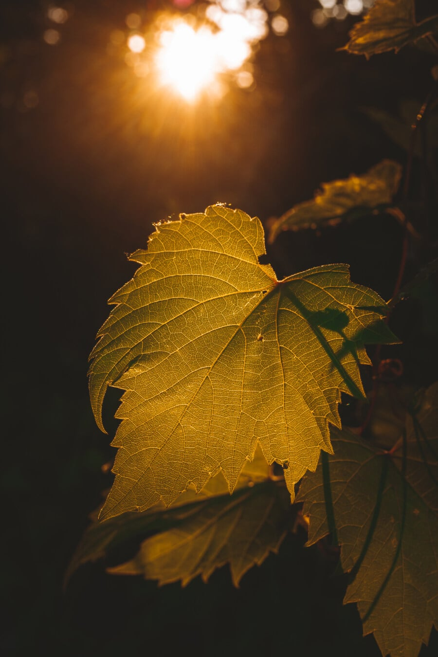 leaf, yellow green, sunlight, sunrays, backlight, close-up, silhouette, darkness, sun, nature