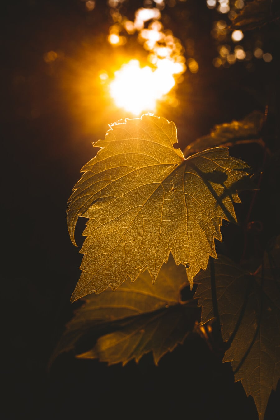 green leaves, sunlight, sun, sunny, sunrays, leaf, nature, sunset, light, bright