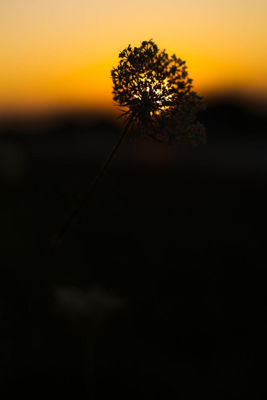 hinterleuchtet, Silhouette, Wildblumen, Orange gelb, Sonnenuntergang, Sonnenlicht, Blume, Natur, Sonne, Licht
