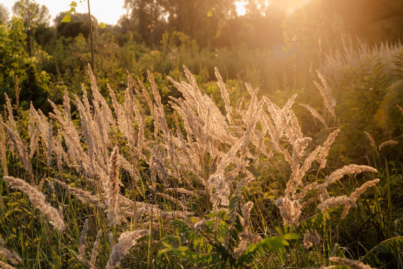 græsklædte, plante, græsplanter, solens stråler, græsarealer, græs, ukrudt, løv, natur, landskab