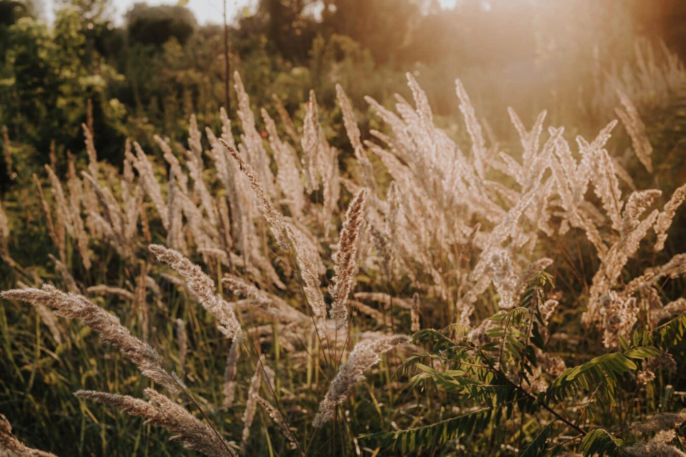 Gras, hoch, grasbewachsenen, Sonnenstrahlen, Natur, des ländlichen Raums, Sommer, im freien, Schönwetter, Sonne