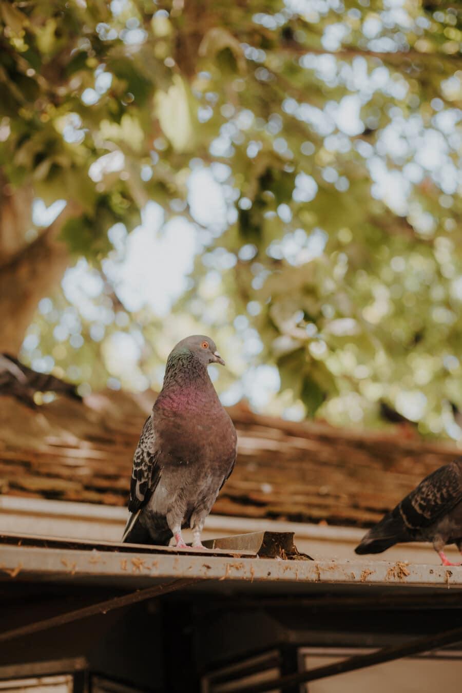 Porträt, Taube, auf dem Dach, Dach, Vogel, Tier, im freien, wild, Feder, Farbe