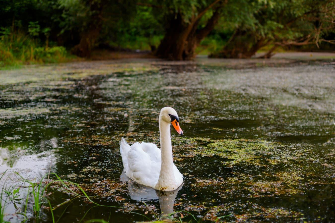 belle, cygne, terrain marécageux, marais, nature, eau, oiseau, Lac, à l'extérieur, faune