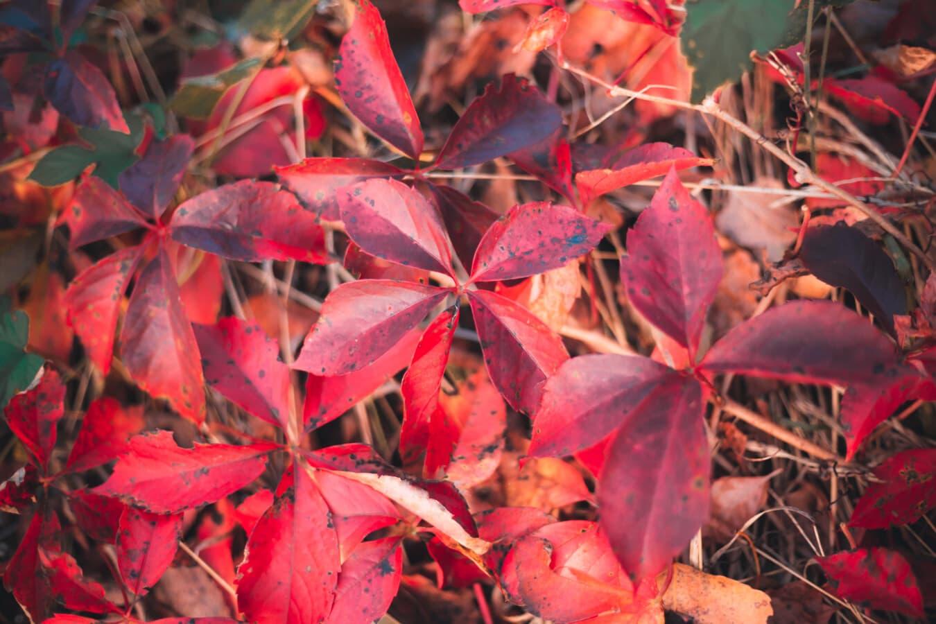 Blatt, Zweig, rot, Natur, hell, Flora, im freien, Farbe, Struktur, Saison