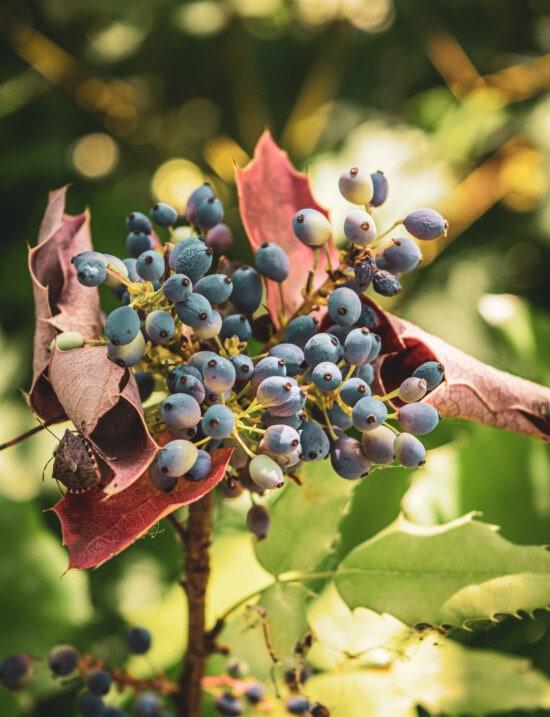 Cluster, Blau, Beeren, Zweig, Herbstsaison, Blatt, Obst, Natur, Flora, Ast