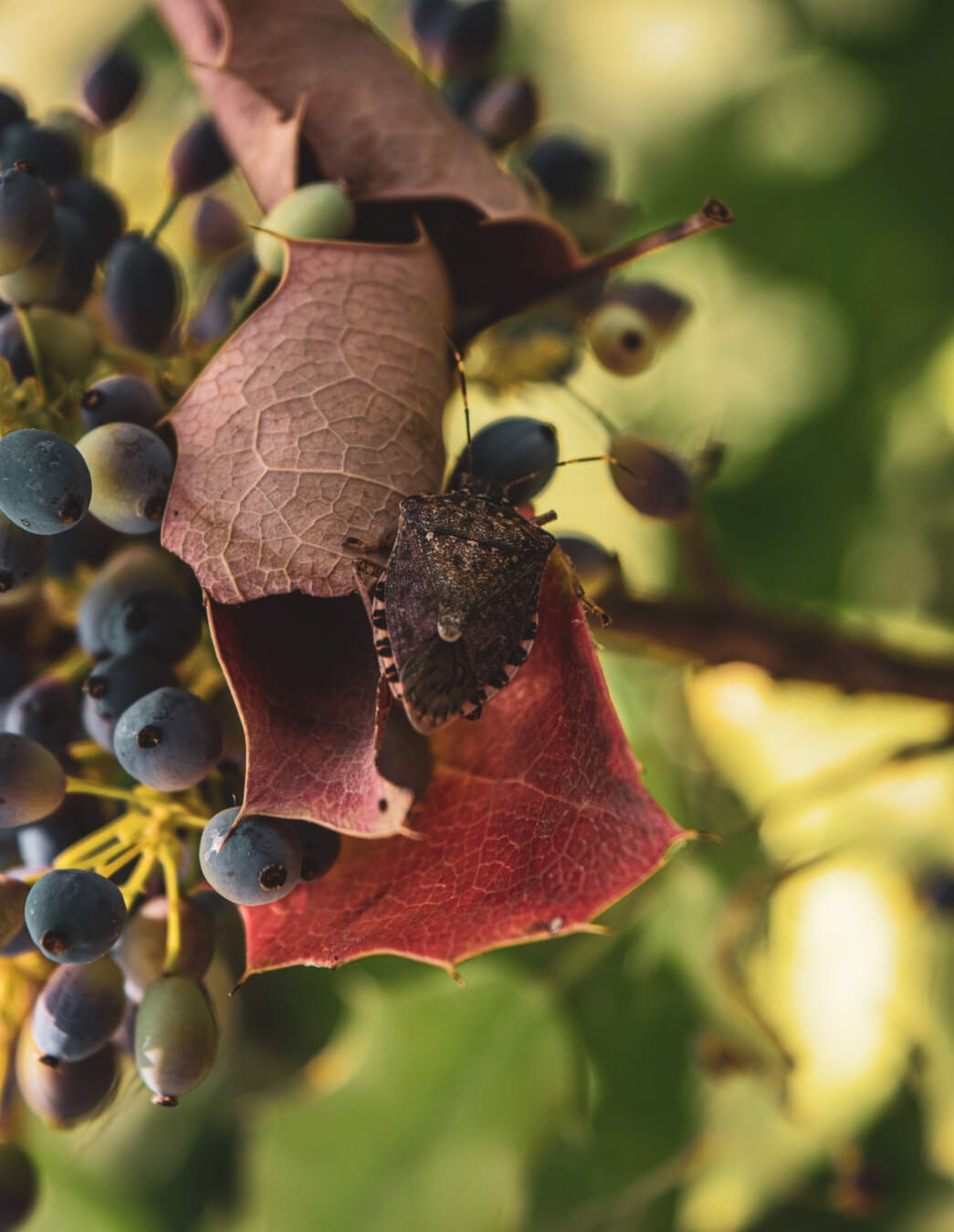 light brown, berries, leaf, reddish, close-up, beetle, insect, nature, flora, color