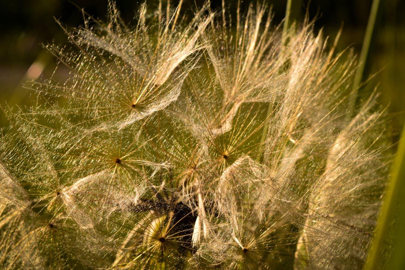 macro, fermer, pissenlit, semences, nature, flore, brillant, été, à l'extérieur, herbe