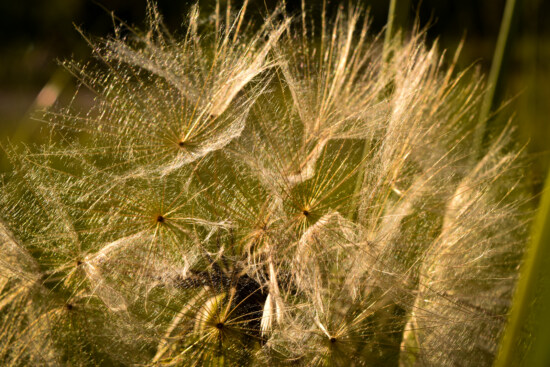 macro, close-up, dandelion, seed, nature, flora, bright, summer, outdoors, grass