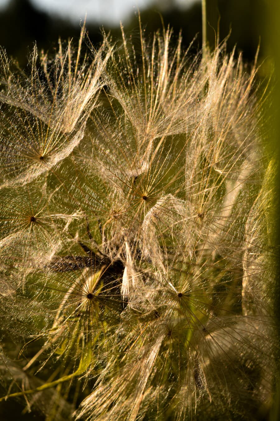 dandelion, close-up, photography, macro, seed, nature, flora, summer, color, outdoors
