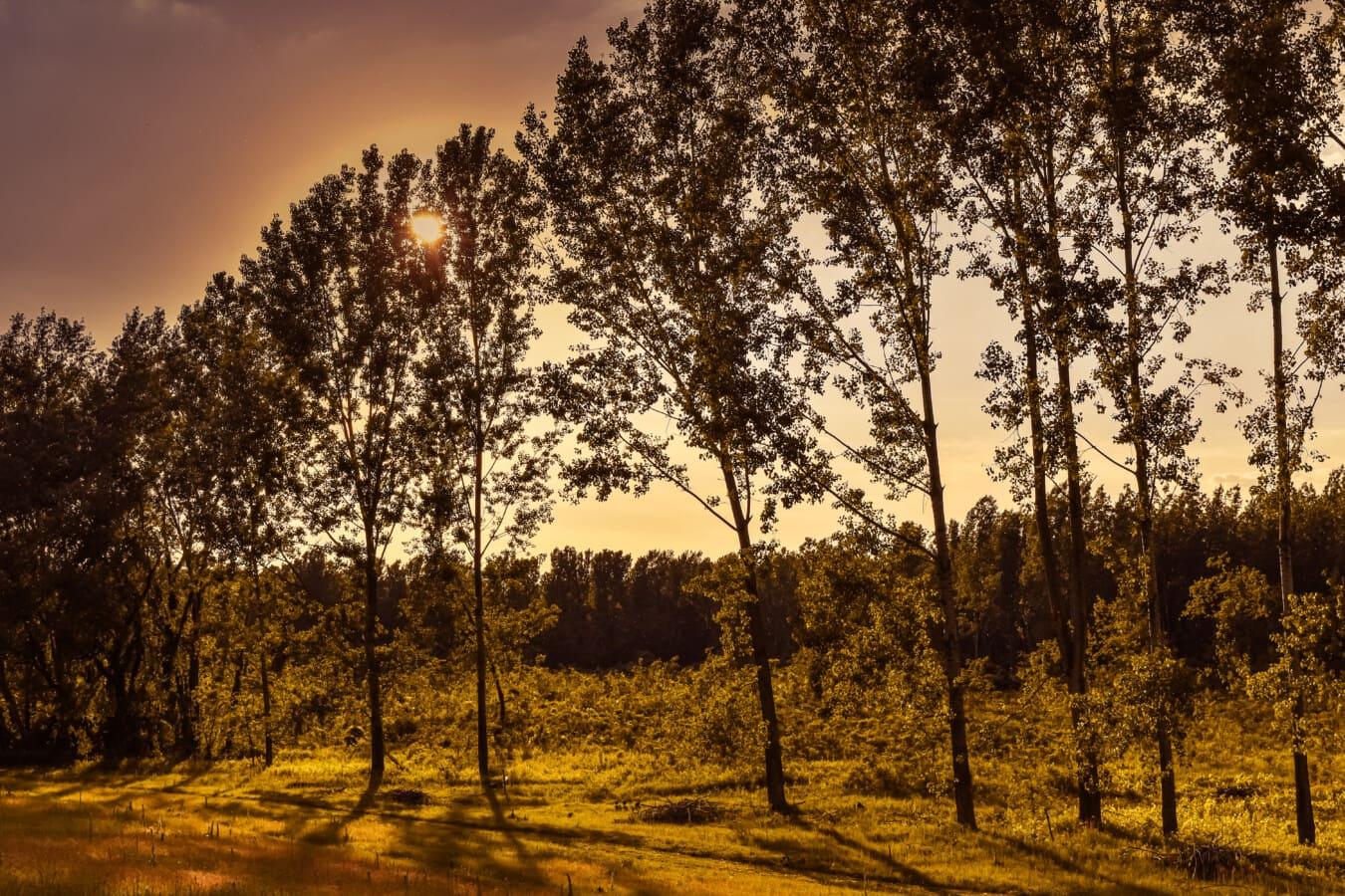 Wald, Sonnenuntergang, Pappel, 'Nabend, Sonnenlicht, Bäume, Sonne, Natur, Dämmerung, Holz