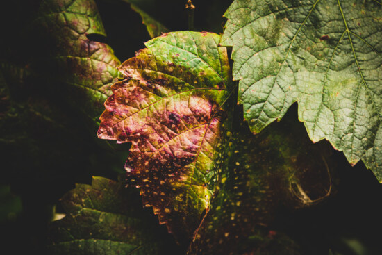shade, dark green, green leaves, grapevine, shadow, nature, leaf, color, flora, outdoors