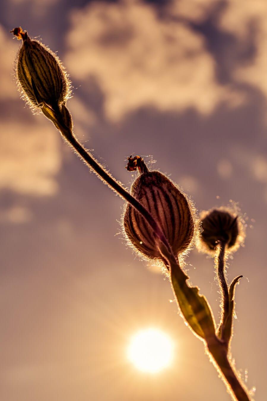 hinterleuchtet, Sonnenuntergang, Wildblumen, Sonnenlicht, majestätisch, Blütenknospe, Sonnenstrahlen, Blume, Natur, Anlage