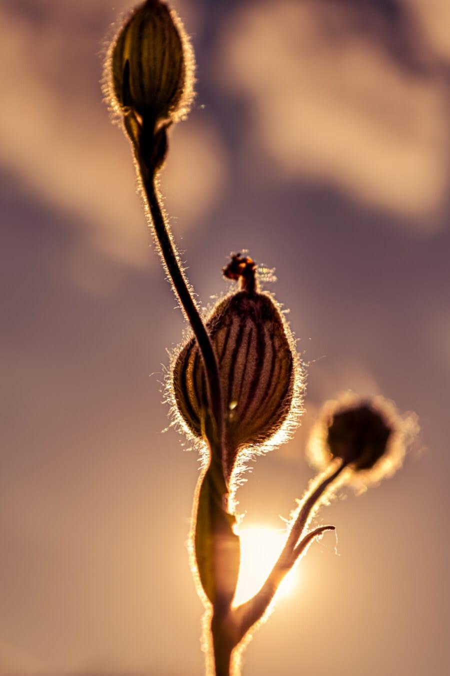 sunset, wildflower, backlight, flower bud, opium poppy, sunlight, sunrays, flower, nature, flora