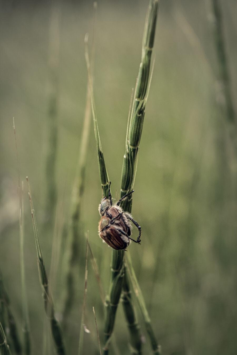 punaise, insecte, Beetle, animaux, nature, fermer, à l'extérieur, herbe, été, faune