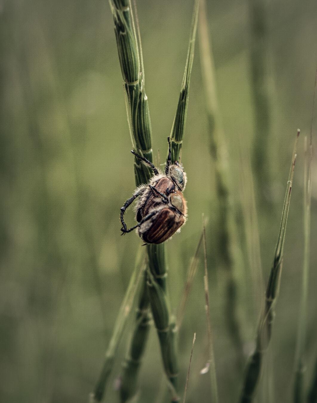 Käfer, Makro, Braun, Insekt, Gras, aus nächster Nähe, wirbellos, Natur, Nahansicht, Tierwelt