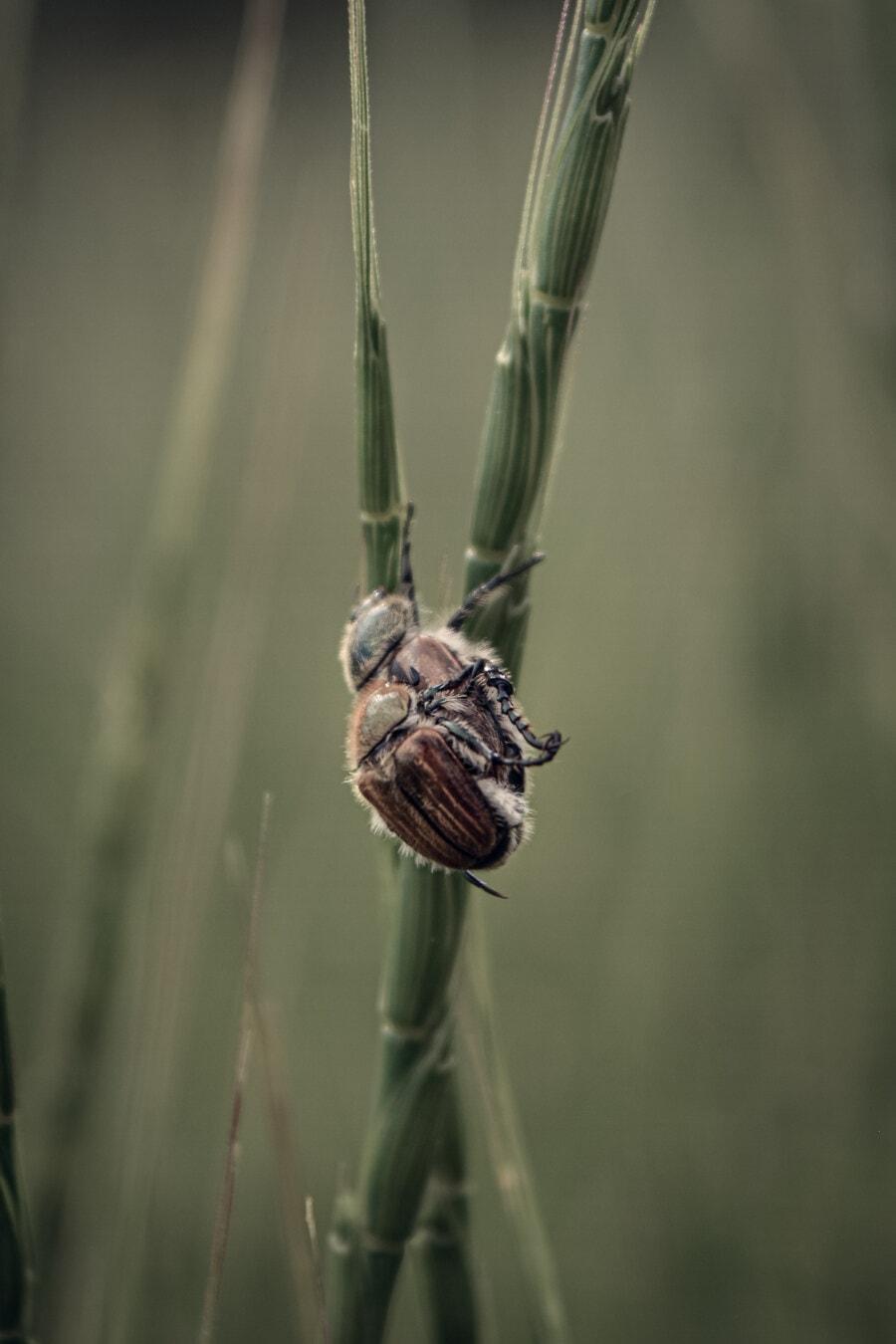 Braun, Käfer, aus nächster Nähe, Fehler, Insekt, Tiere, Natur, Tierwelt, im freien, wirbellos