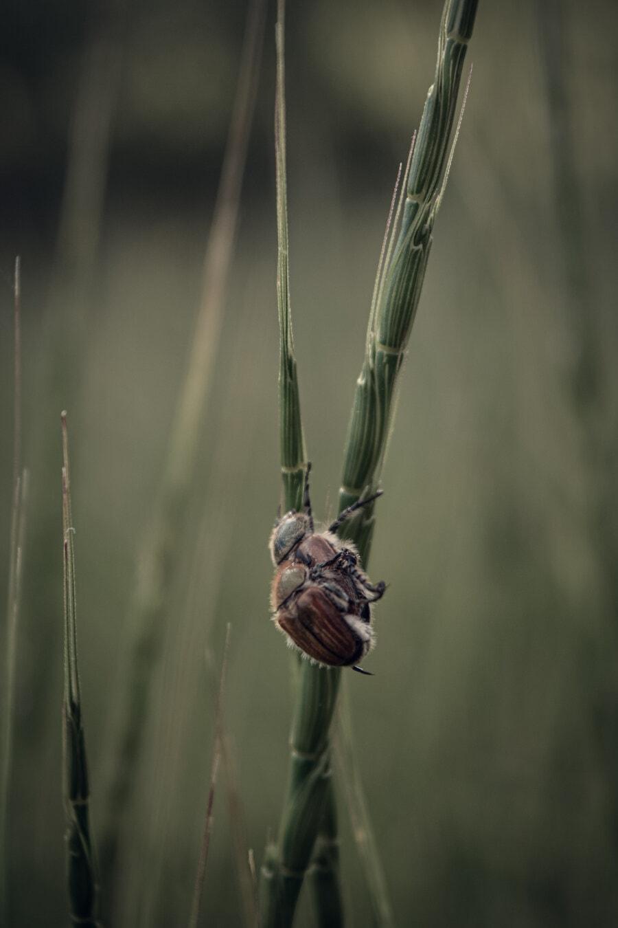 Stamm, Käfer, Gras, Fehler, aus nächster Nähe, Insekt, Gliederfüßer, Natur, Tierwelt, im freien