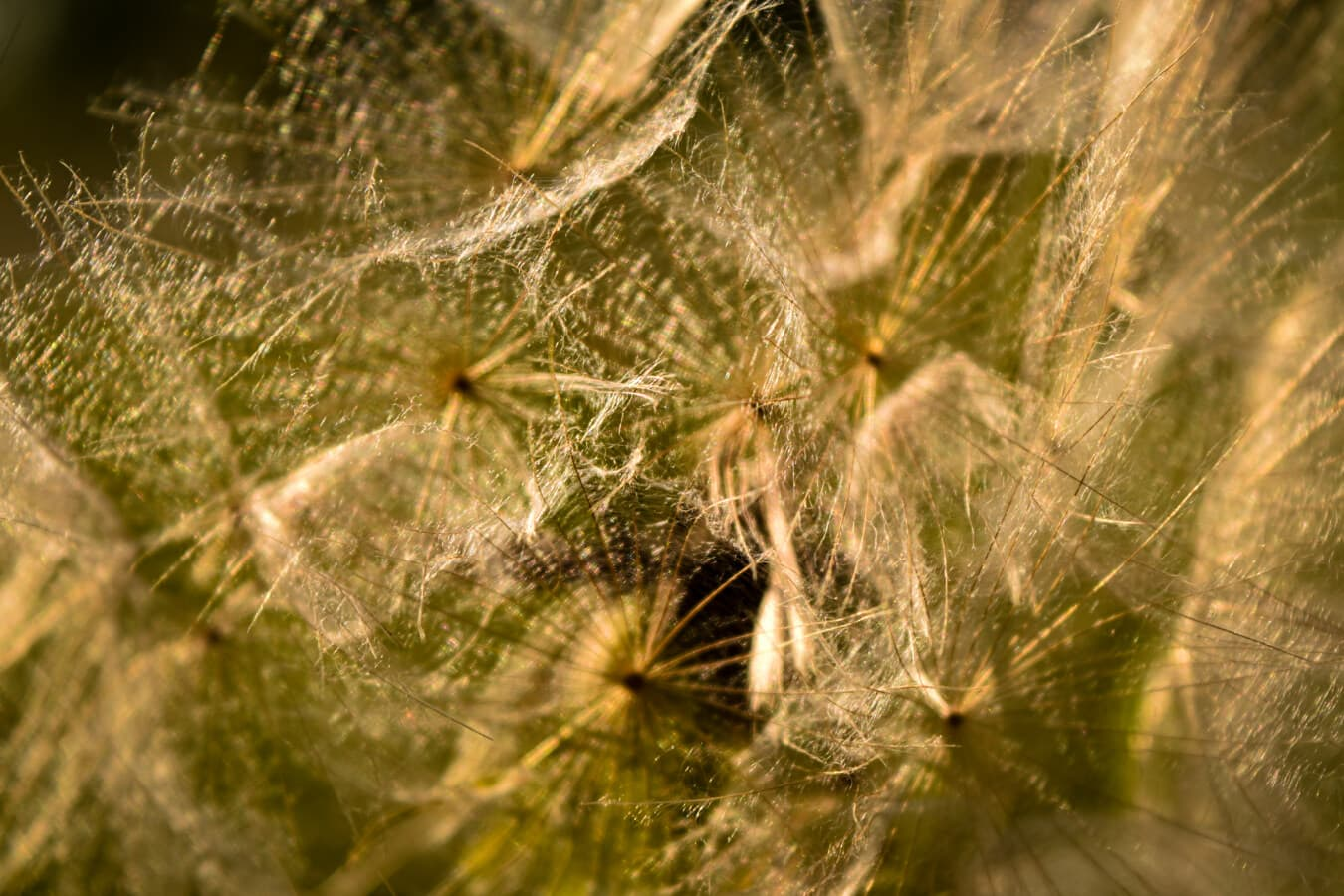 dandelion, macro, close-up, nature, flora, abstract, color, grass, summer, texture