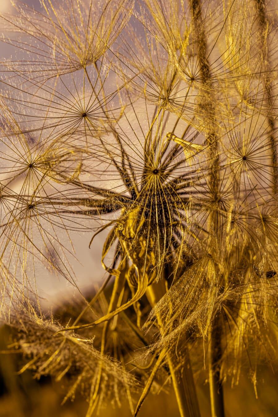Löwenzahn, Makro, aus nächster Nähe, Samen, Sonnenuntergang, Sonnenlicht, majestätisch, Kraut, Anlage, Flora