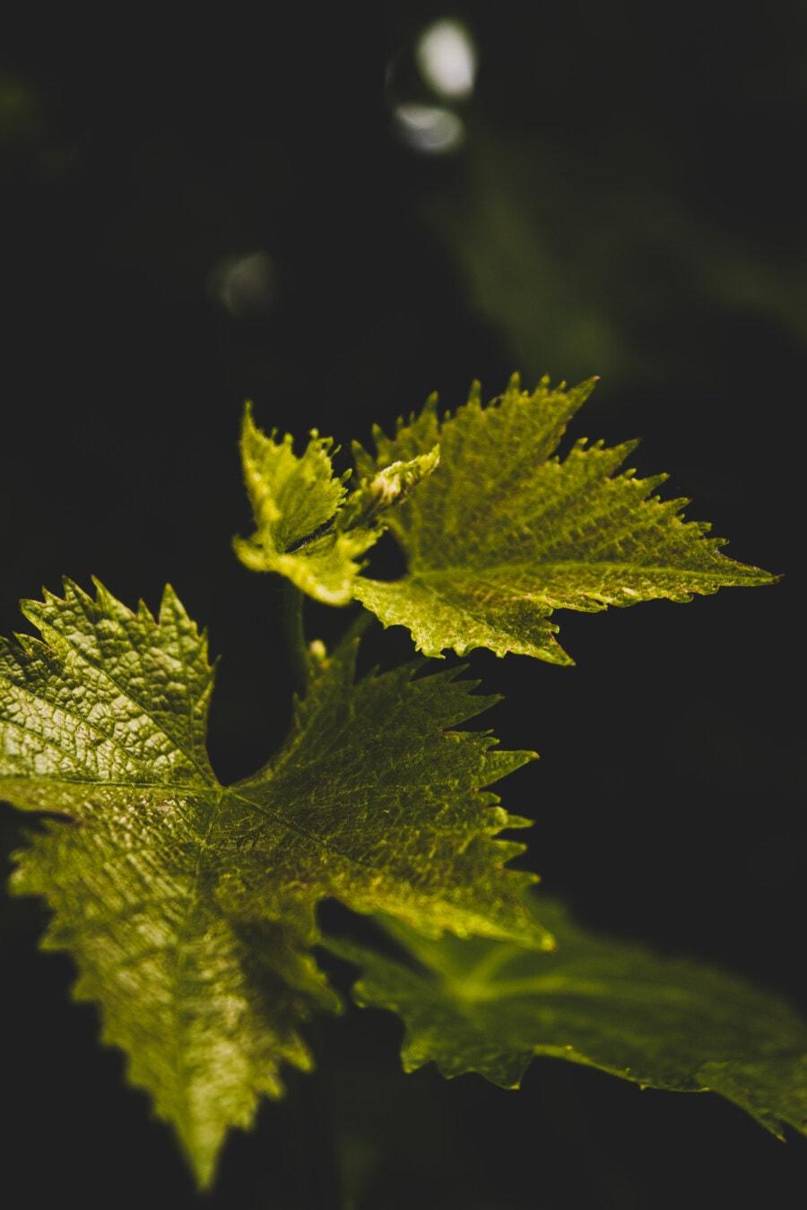 Weinrebe, Weinberg, aus nächster Nähe, grüne Blätter, Blätter, Blatt, Petersilie, Anlage, Natur, Rebe