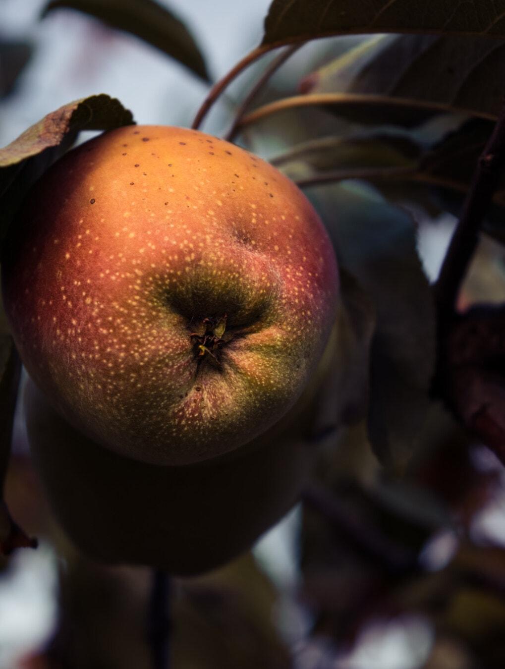 owoce, drzewo owocowe, jabłko, Jabłoń, oddziały, cień, Rolnictwo, produktu, organiczne, świeży