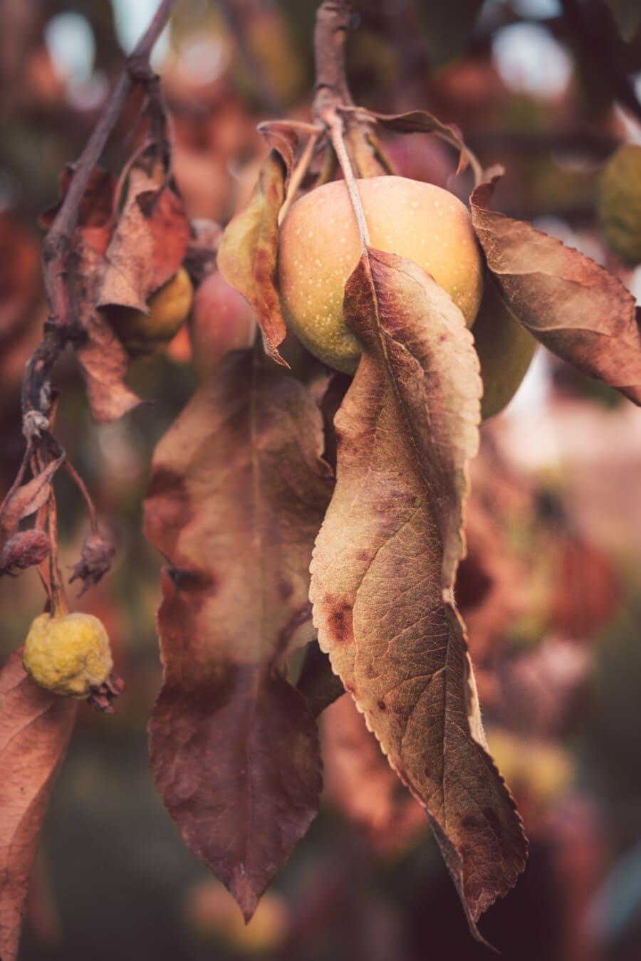 Apfelbaum, Obst, Obstbaum, Herbstsaison, trocken, Apfel, Trockenzeit, Struktur, Produkte, Natur