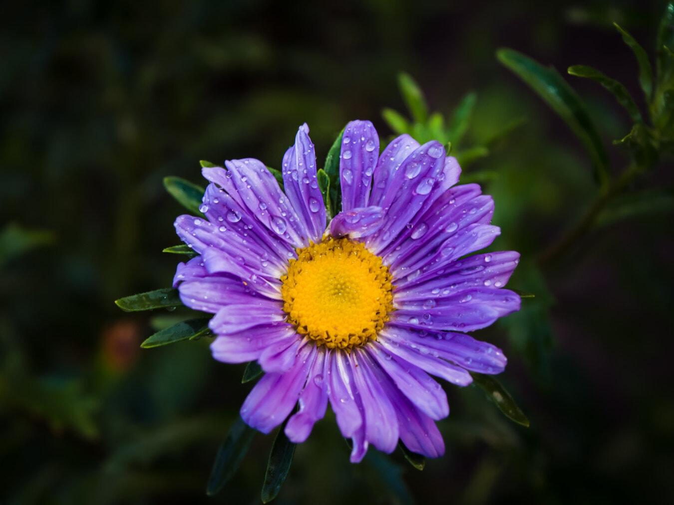 Blütenblätter, lila, Feuchtigkeit, Regentropfen, Wildblumen, Tau, Blumen, Garten, Blume, Natur