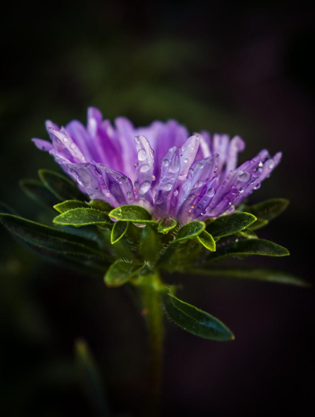 stem, vertical, wildflower, dew, liquid, raindrop, moisture, purplish, macro, close-up