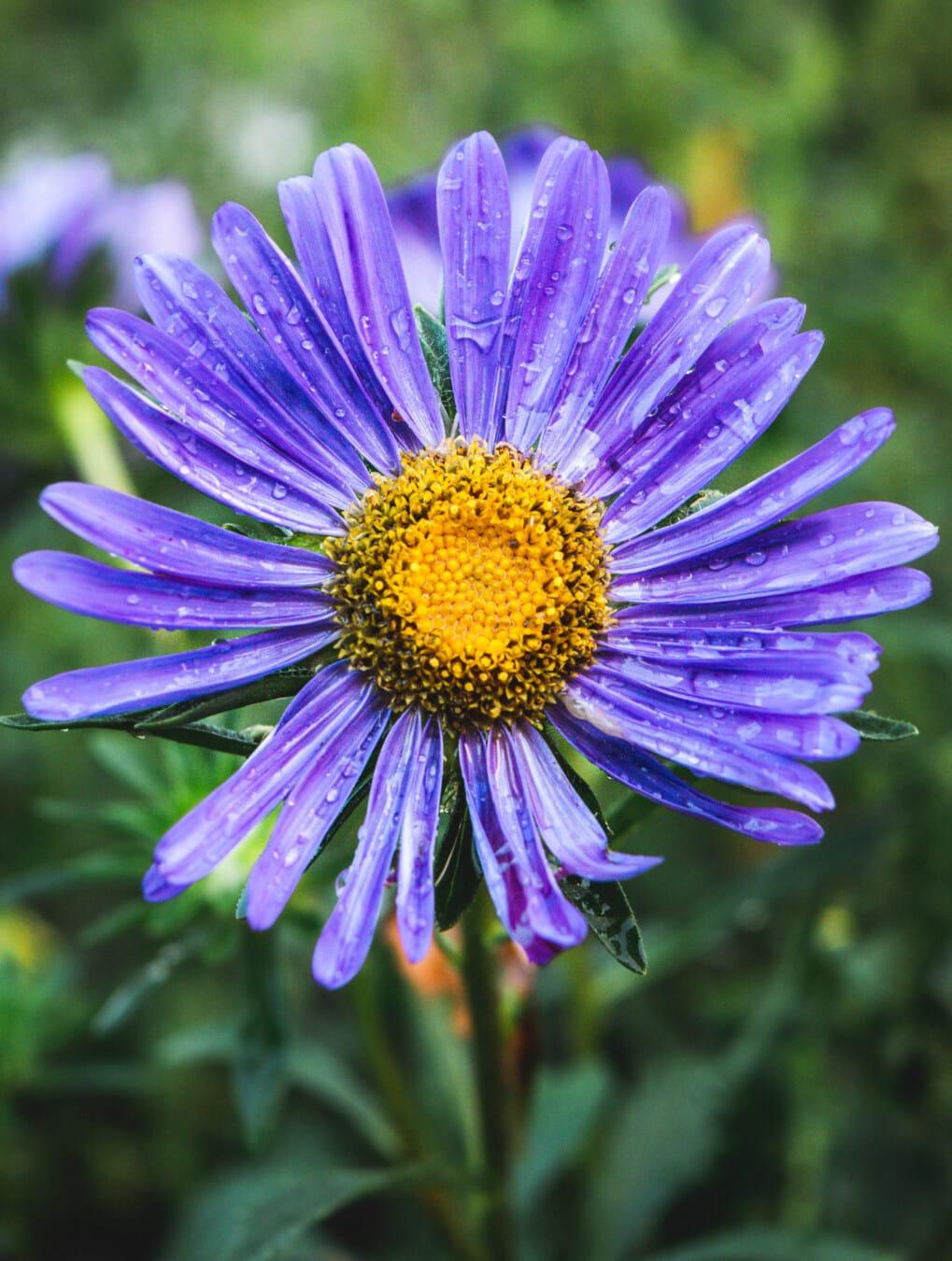 aus nächster Nähe, Wildblumen, Feuchtigkeit, Regentropfen, Tau, nass, Blumen, Blüte, Blume, Garten