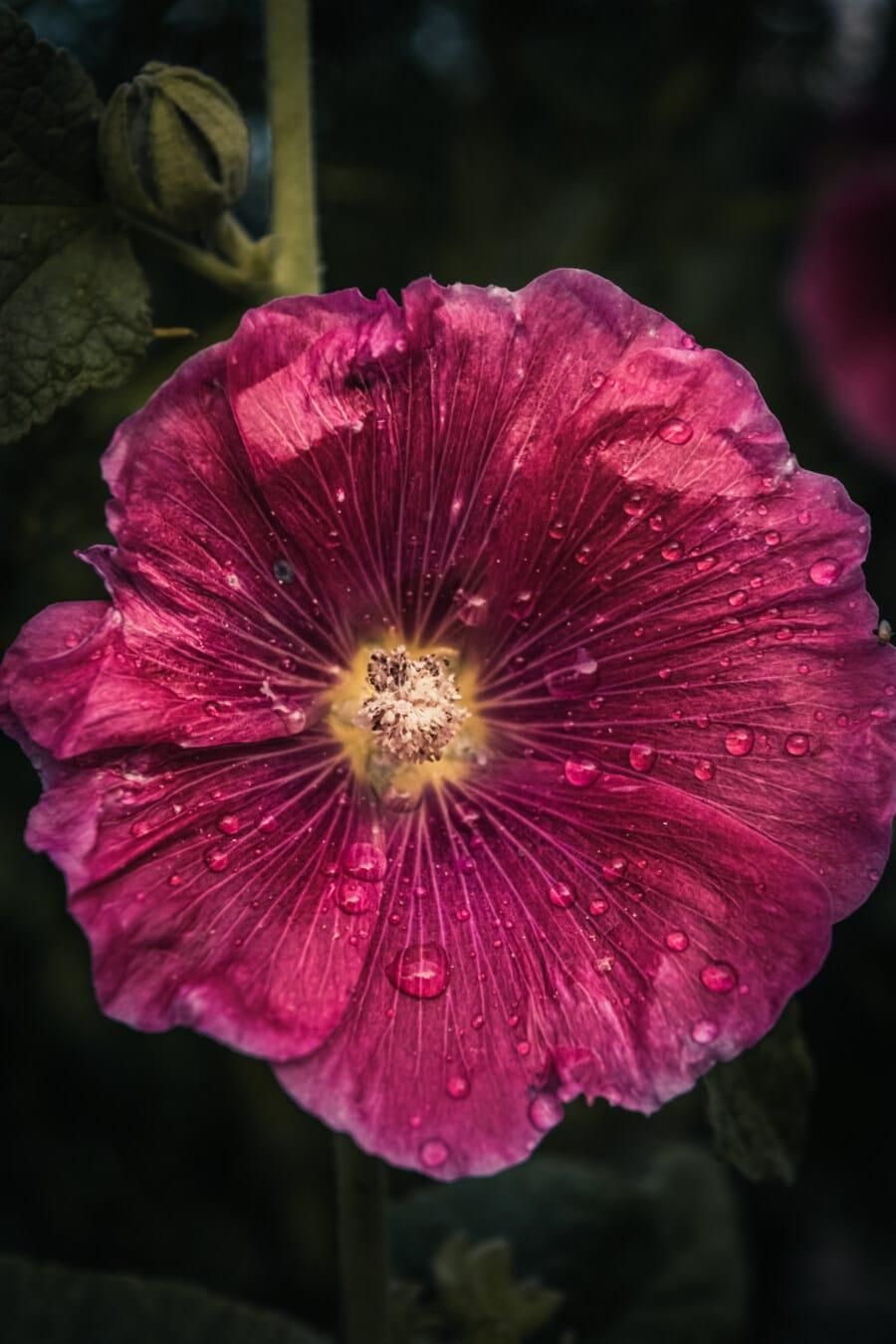 Blume, lila, Rosa, nass, Regentropfen, Regen, aus nächster Nähe, Stempel, Pollen, Natur