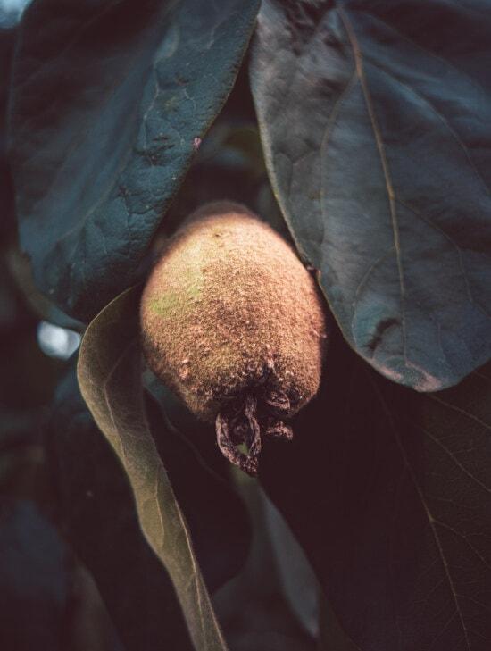 Obst, Obstbaum, Quitte, grüne Blätter, Kraut, Bio, Landwirtschaft, Natur, Essen, Blatt