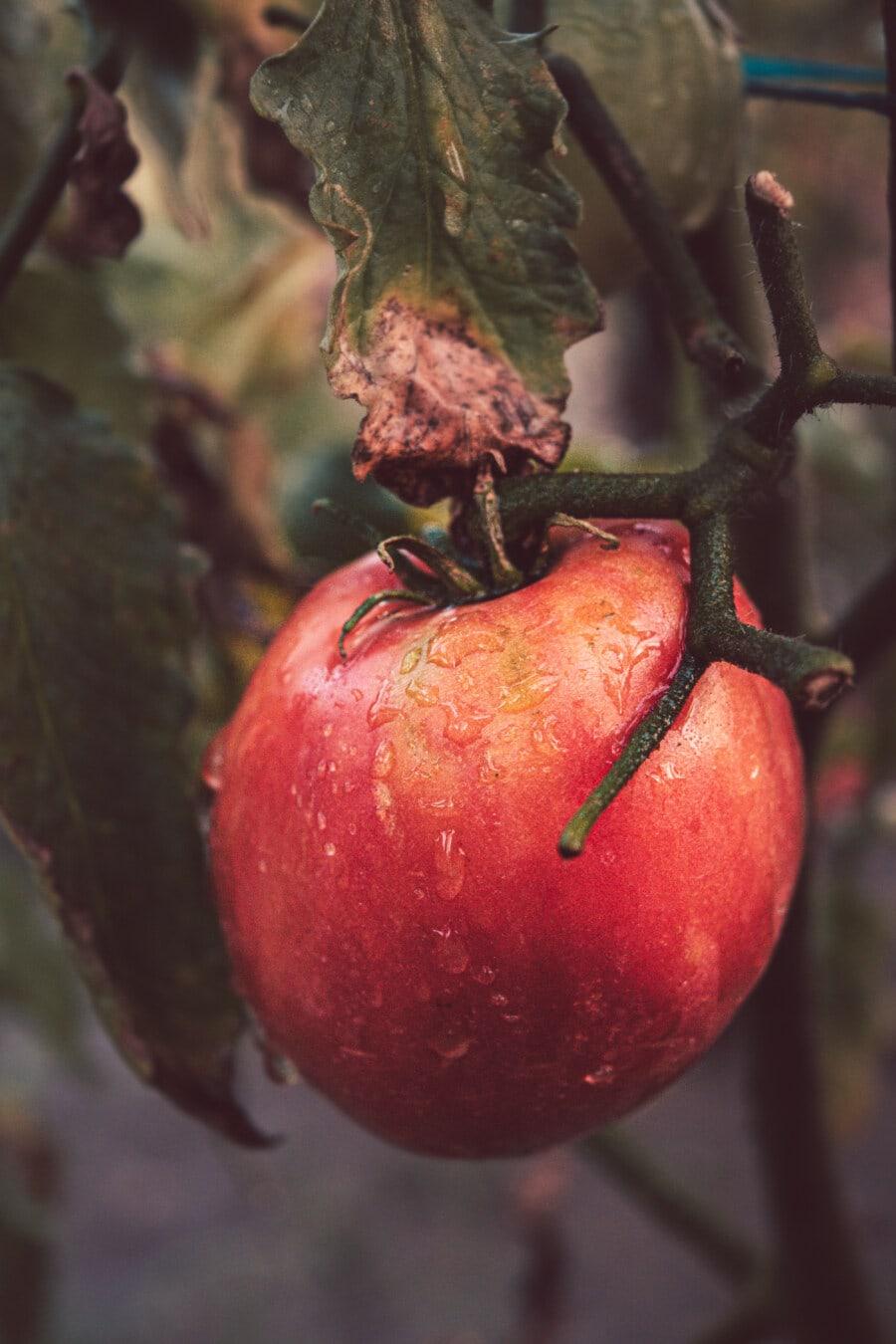 tomate, rougeâtre, organique, Agriculture, rural, humidité, goutte de pluie, rosée, Wet, en bonne santé