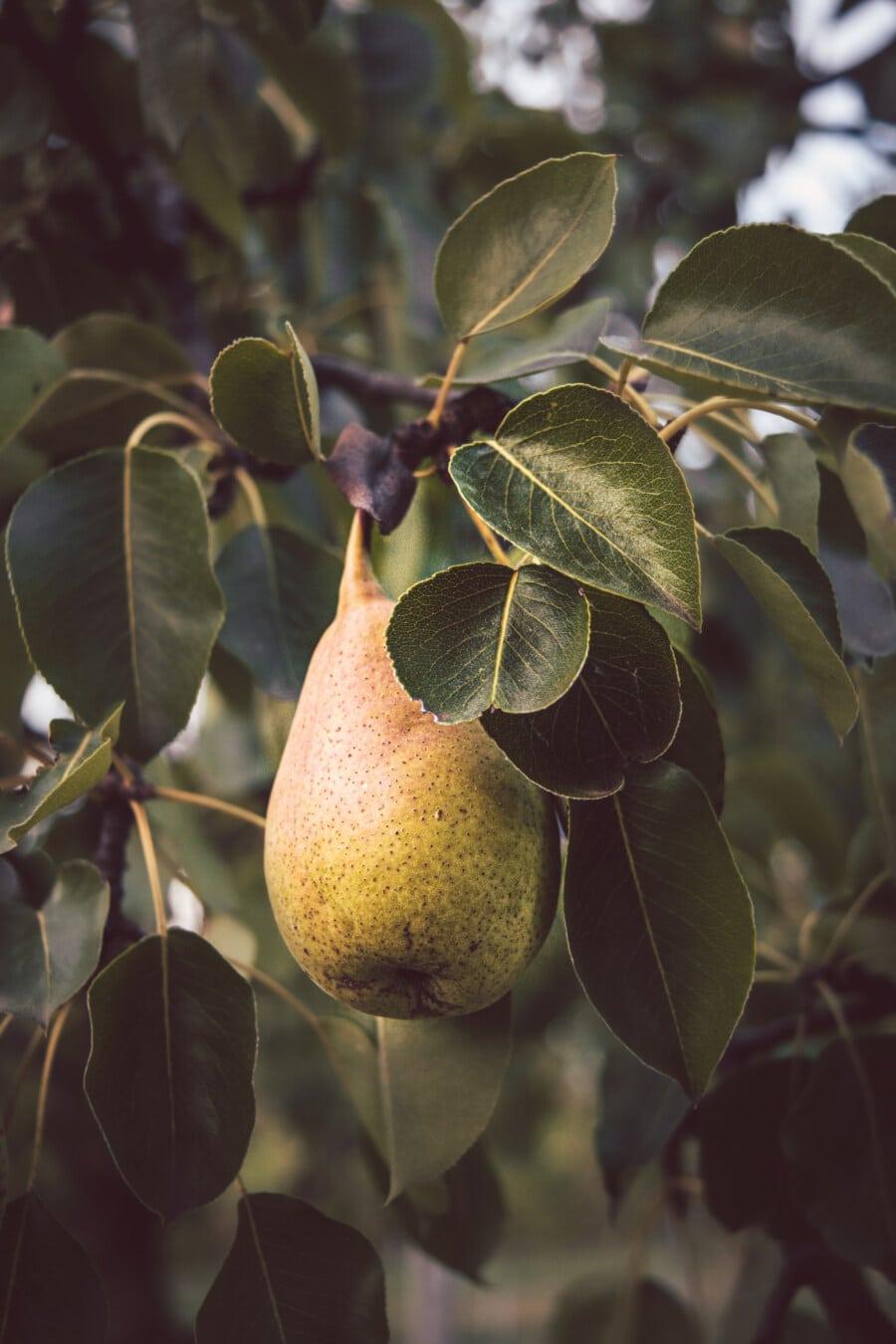 organique, Agriculture, PEAR, arbre fruitier, doux, fruits, verger, feuille, arbre, alimentaire