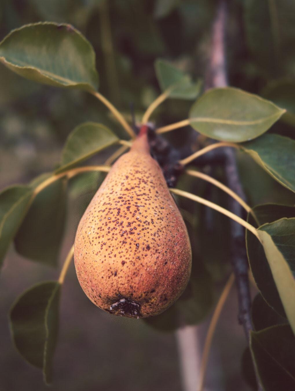 brun clair, PEAR, arbre fruitier, organique, rural, Agriculture, Agriculture, produire, alimentaire, nature