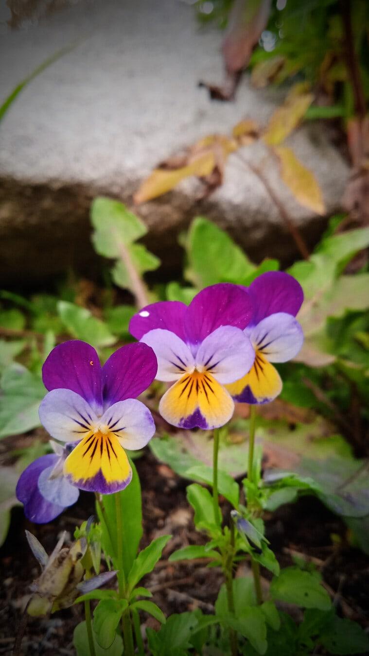 Tricolor, Wildblumen, bunte, Blume, Frühling, Anlage, Blumen, Natur, Viola, Garten