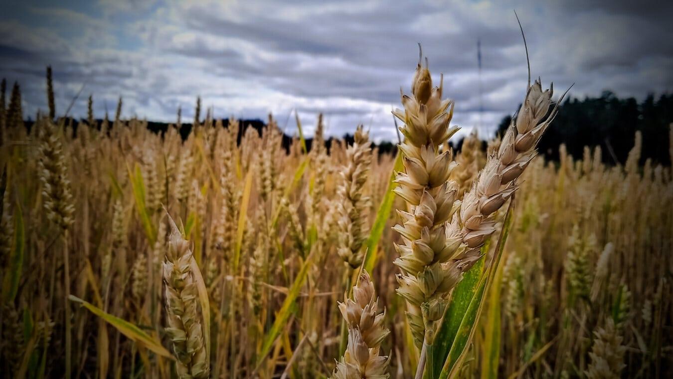 orge, tige, domaine, agricole, harvest, Agriculture, été, paille, grain, rural