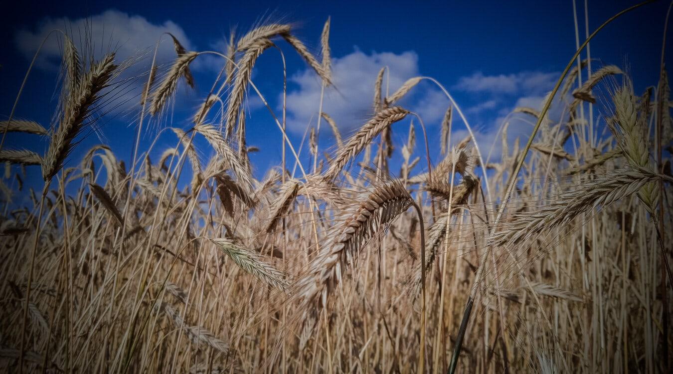 herbe, tige, champ de blé, Agriculture, fermer, Agriculture, rural, domaine, céréale, orge