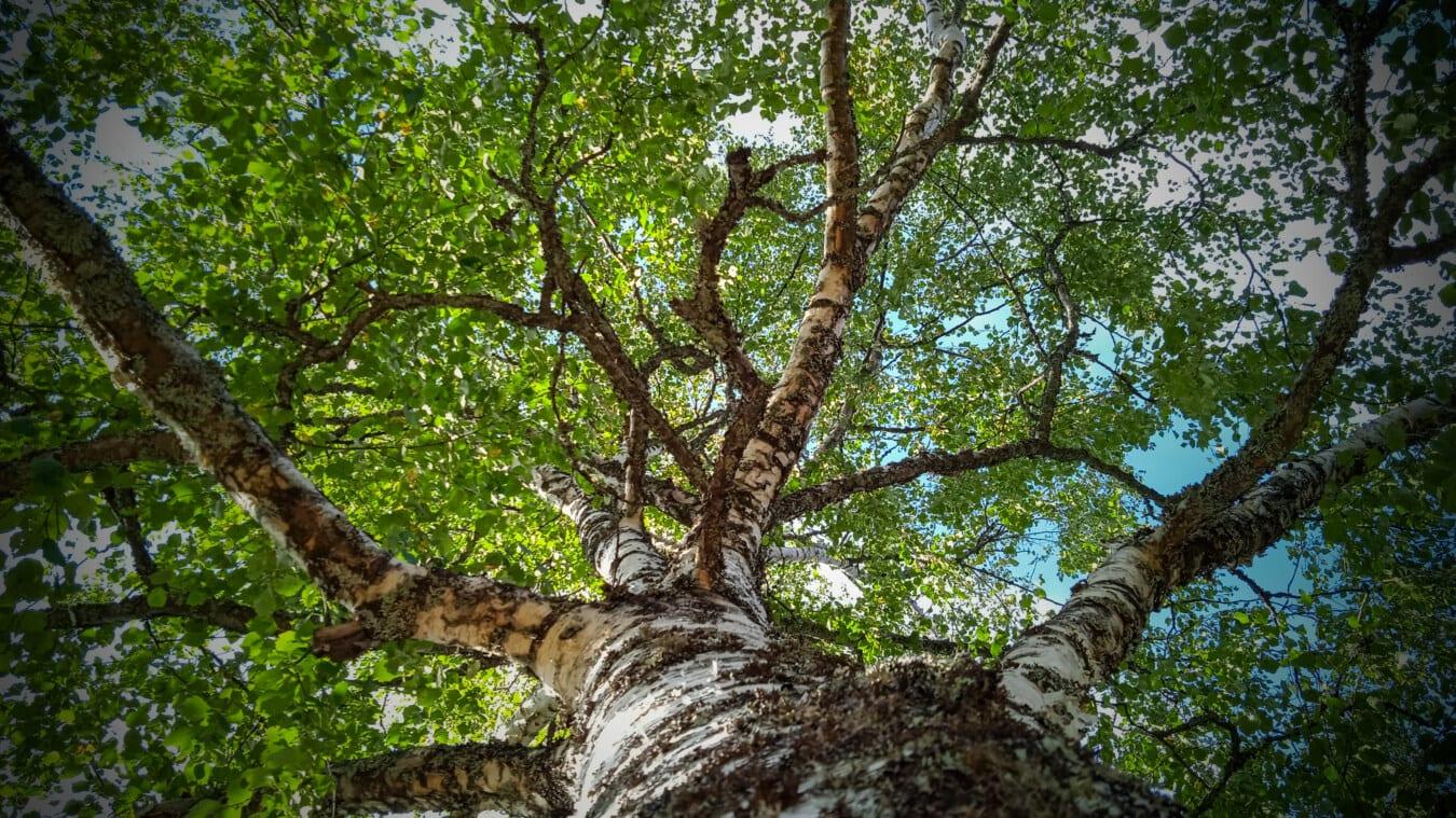 branche, bouleau, gros, arbre, bois, feuille, nature, forêt, tronc, écorce