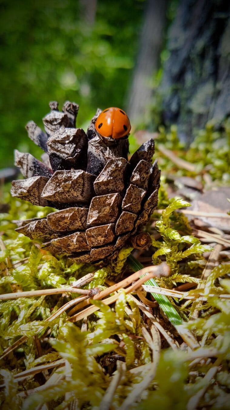 aus nächster Nähe, Marienkäfer, weiße Fichten, Nadelbaum, Samen, Detail, Natur, Käfer, Gliederfüßer, Insekt
