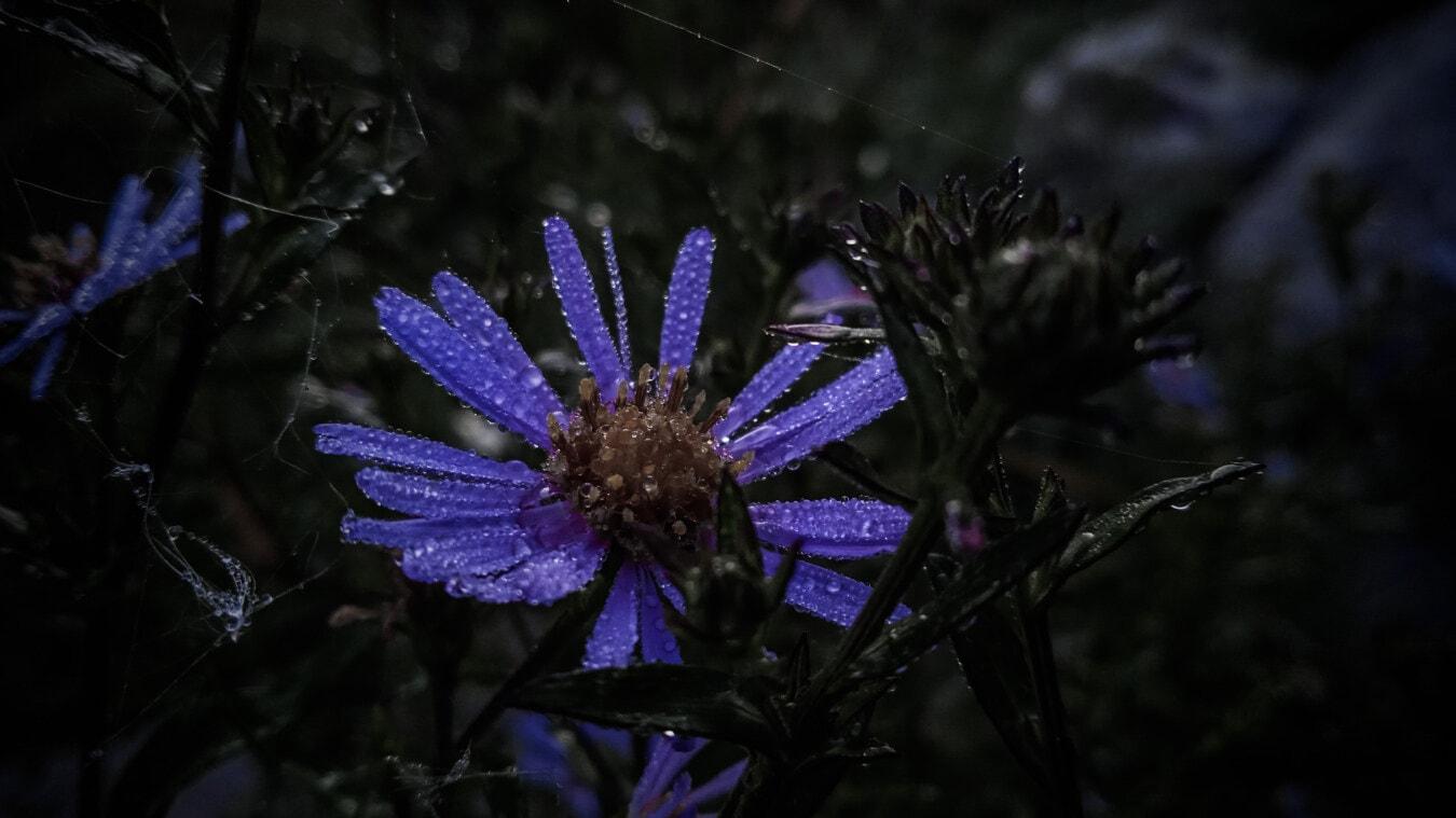 rosée, humidité, fleurs sauvages, violet, pétales, nuit, goutte de pluie, ténèbres, majestueux, plante